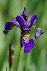 Iris de Sibérie (mamietherese1) Tags: callingallangels world100f doublefantasy ngc earthmarvels50earthfaves phvalue 200v200c2000v