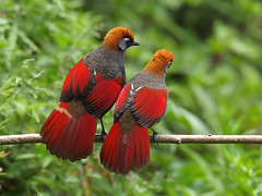 Red-tailed Laughingthrushes (Oleg Chernyshov) Tags: garrulaxmilneisharpei trochalopteronmilnei redtailedlaughingthrush trochalopteronmilneisharpei краснохвостаякустарница