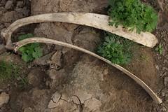IMG_6255 (anthrax013) Tags: india varanasi corpse dead death bones skull flesh decomposition rot decay necro necrophilia