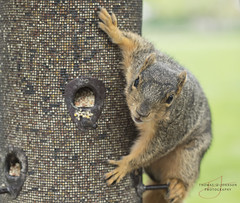 It's Mine....All Mine (Thomas  Johnson Photography) Tags: missouri outside outdoors canon digital 5d 5dmarkiv markiv squirrel cute adorable close closeup animal seed birdseed itsmine macro furry brown thomasjohnsonphotography ©thomasjohnsonphotography ©2017thomasjohnsonphotography shelter gardens sheltergardens como columbia 2017 looking eating snacking hungry fat unitedstates