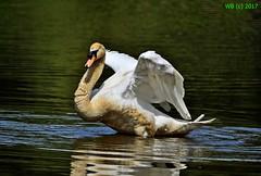 DSC_0097n wb (bwagnerfoto) Tags: bütykös hattyú cygnus olor höckerschwan mute swan schwan madár vogel bird lobau donauauen nationalpark nature outdoor animal water lake