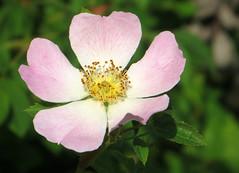 09-IMG_6367 (hemingwayfoto) Tags: blühen blüte blüten blume botanik busch duftend einheimisch flora gelb häufig heckenrose knipskiste pflanze romantisch rosa rosacanina rose rosengewächs strauch wildrose zart