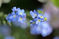 forget-me-not in blue. (cate♪) Tags: forgetmenot blue 勿忘草