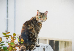Cat on a Wall (Shastajak) Tags: lola cat tabby domesticshorthair moggy rehomed rescued sliderssunday topazimpressions