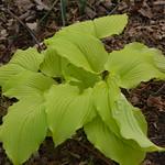Chartreuse hosta thumbnail