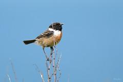 Stonechat ♂ (Shane Jones) Tags: stonechat bird nature wildlife nikon d500 200400vr tc14eii
