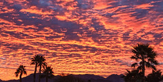 Silhouetted Palm Trees (http://fineartamerica.com/profiles/robert-bales.ht) Tags: arizona foothills forupload haybales land landscape people photo places projects states sunsetorsunrise sunrise sunset street palmtree southwest red yellow silhouette clouds desert twilight sunrays orange nature beautiful colorful bright scenic stunning mountain morning sensational spectacular cirrus southwestern horizon sonoran panoramic awesome magnificent peaceful surreal sublime magical spiritual inspiring inspirational tranquil sunlight wallpaper yuma robertbales