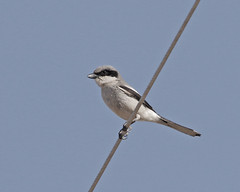 Loggerhead Shrike (Keith Carlson) Tags: loggerheadshrike laniusludovicianus shrikes