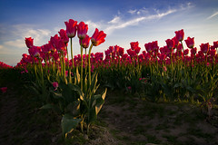 Reach for the clouds (~ Bob ~) Tags: mtvernon landscape sunset flower skagit lastlight clouds color washingtonstate tulips