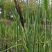 Greater pond sedge