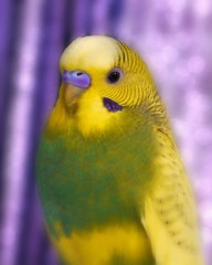 Bird Challenge (Corgibird) Tags: parrot parakeets pastry budgie bird nature bokeh color colorful warmcolors green yellow cuteanimals prettybird petportrait