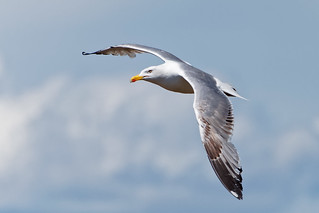 Gavià argentat - Gaviota patiamarilla -  Yellow-legged gull - Larus michahellis