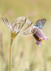 Happiness (BirgittaSjostedt) Tags: pasque pulsatilla butterfly commonblue pulsatillpratensis macro nature bright bokeh happiness insect magicunicornverybest ie