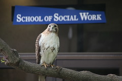 342/365/3264 (May 19, 2017) - Red-Tailed Hawk at the School of Social Work - University of Michigan, Ann Arbor (May 19, 2017)