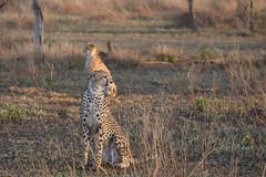 Look both ways (Ring a Ding Ding) Tags: 2017 acinonyxjubatus africa bigcat ndutu nomad serengeti tanzania cat cheetah cubs motherandcub nature predator safari wildcat wildlife arusharegion ngc