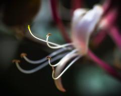 Delicate (Chas56) Tags: macro flower plant flora delicate canon canon5dmkiii backyard stamen closeup upclose