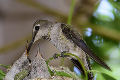 Caring for the Young (fenicephoto) Tags: hummingbird hummingbirdfeeding