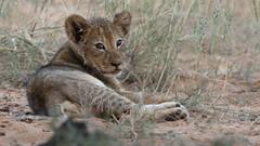 African lion, Panthera leo at Kgalagadi Transfrontier Park, Northern Cape, South Africa (Derek Keats) Tags: pantheraleo bigcats felines taxonomy:family=felidae lions africanlion lion taxonomy:binomial=pantheraleo felidae cats