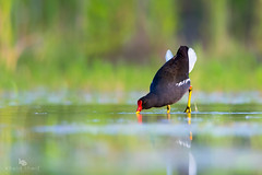 Common Moorhen (Gallinula chloropus) 黑水鸡 hēi shuǐ jī (China (Jiangsu Taizhou)) Tags: nikon d5 800mm birds 2017 china birdsofchina yangzhou yizheng 扬州仪征 yángzhōuyízhēng wildlife birding shorebird commonmoorhen gallinulachloropus 黑水鸡 hēishuǐjī ngcnational geographicbird watchingbird watcher