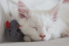 A Cat and his mouse (CecilieSonstebyPhotography) Tags: catfamily whitefur sleeping ef100mmf28lmacroisusm canon kitten animal markiii fur ears sleepingbeauty cat mouse canon5dmarkiii 14weeksold nose white fabuleuse