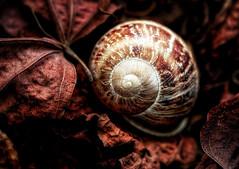 Resting Place (Daniela 59) Tags: 100x2017 100xthe2017edition image45100 macro macromondays memberschoiceintothewoods snail emptyshell leaves dead deadleaves textures danielaruppel