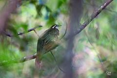 Cuclillo faisán (Dromococcyx phasianellus) (Jorge De Silva R) Tags: pheasant cuckoo cuclillo faisán dromococcyx phasianellus reserva de la biosfera el triunfo birds aves chiapas jorge silva