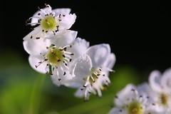 hawthorn blossom (HansHolt) Tags: crataeguslaevigata crataegus midland woodland hawthorn mayflower tweestijlige meidoorn blossom bloesem flower bloem petals bloemblaadjes macro dof bokeh canon 6d 100mm canoneos6d canonef100mmf28macrousm
