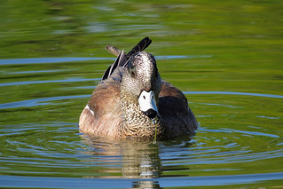 Canard siffleur d'Amérique  male