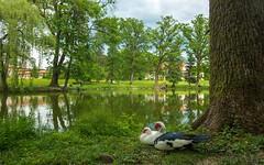 ducks (09) (Vlado Ferenčić) Tags: animals lakes lužnica zaprešić hrvatska croatia nikond600 nikkor173528 vladoferencic vladimirferencic animalplanet