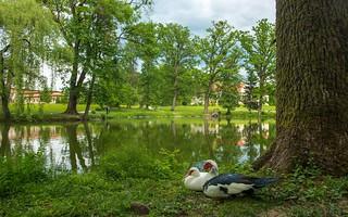 ducks (09)