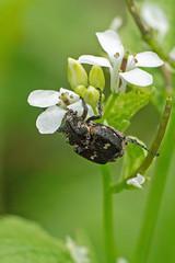 Stolperkäfer (planetvielfalt) Tags: auenwald coleoptera polyphaga scarabaeidae scarabaeiformia valginae schkeuditz sachsen deutschland