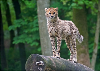 Young cheetah on the lookout