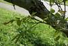 Juglans regia (English Walnut, Persian Walnut) (Plant Image Library) Tags: arnoldarboretum trees plants may 2017 spring massachusetts boston botany ecology phenology science juglansregia englishwalnut persianwalnut juglandaceae 69252b stem leaf bud2