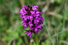 Wild Flower (Hugo von Schreck) Tags: hugovonschreck flower wildblume wildflower blüte macro makro blume orchidee canoneos5dsr yourbestoftoday tamron28300mmf3563divcpzda010