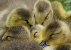 little geese (gerben more) Tags: geese goose bird birds breda netherlands nederland