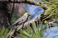 Williamson's sapsucker, female (jlcummins - Washington State) Tags: yakimacounty bird washingtonstate nature fauna williamsonssapsucker