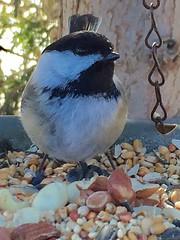 ©Shelley Paige Aylesworth (WBU Barrie) Tags: blackcappedchickadee chickadee birdfood birdfeeding birds birdfeeders peanuts seed blend