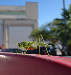 Old Mind Rambling!_DSC05825 (jaciii (off&on)) Tags: stowaway grasshopper countycourthouse red green blue white black