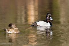 Fuligule à collier / Ring-necked Duck (Wild_Pete) Tags: lacdelage québec canada fuliguleàcollier ringneckedduck canard duck eau marais maraisdunord lacsaintcharles