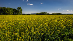 La primavera (andbog) Tags: sony alpha ilce a6000 sonya6000 emount mirrorless csc sonya sel nature natura landscape paesaggio panorama sonyα sonyalpha sony⍺6000 sonyilce6000 sonyalpha6000 ⍺6000 ilce6000 spring primavera yellow flower field campagna campo country countryside colza rapeseed brassicanapus nabo apsc widescreen 169 16x9 manual mf manualfocus primelens manualfocusing samyang samyang12mmf20ncscs 12mmf20 12mm f20 wideangle