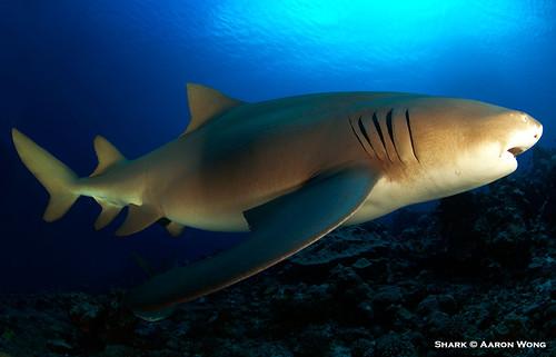 Shark © Aaron Wong