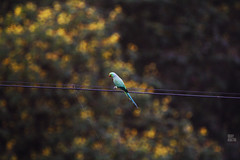 IMG_2806 (uday khatri photography) Tags: nature india bird wildlife birds udaykhatri udaykhatriphotography amazing abstract animal art ahmedabad canon care baaz eagle kite crow love parrot pigeon portrait bulbul two