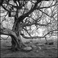 Owler Tor tree (adi taylor) Tags: hasselblad500cm delta100 film bw