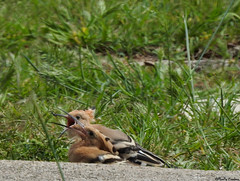 Hoopoes feeding time (Geminiature Nature+Landscape Photography Mallorca) Tags: hoopoe young hop upupaepops abubilla feeded feeding eten comiendo mallorca aves birds aus vogels