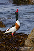 Common Shelduck (Tadorna tadorna) (gcampbellphoto) Tags: common shelduck tadorna duck bird waterfowl atlantic gcampbellphoto nature wildlife avian ballycastle outdoor animal aquatic sea