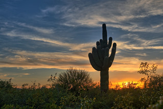 Saguaro Cactus Silhouette at Sunset.