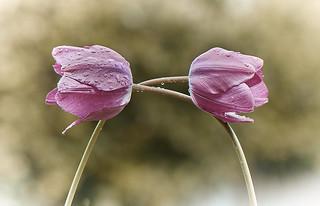 Tulipes dos à dos