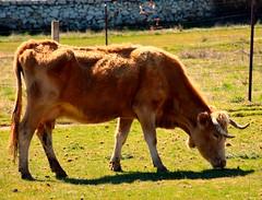 vaca comiendo (jorgedurillo) Tags: ganado nikond7200 naturaleza cuernos vaca elescorial madrid mañana luznatural movimiento comer comiendo cerro original