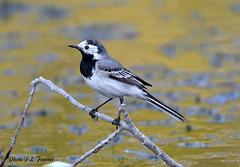 Bergeronnette grise ( Motacilla alba ) (jean-lucfoucret) Tags: eau bergeronnettegrise bird oiseau plumage étang nikond500 sigma150600