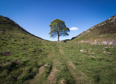Sycamore Gap (the CAMera of ian CAMpbell; simple) Tags: sycamore tree northumbria robin hood prince thieves